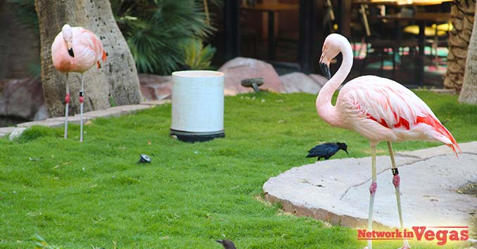 bright pink Chilean Flamingos in Las Vegas