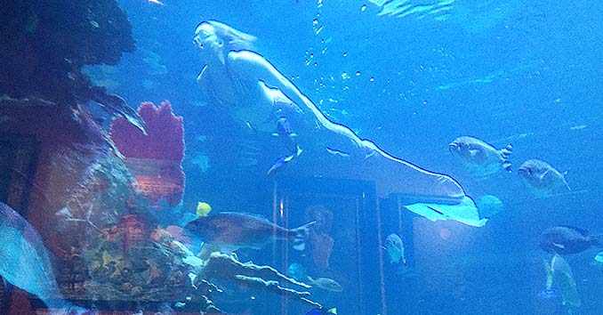 Mermaid Swimming with Tropical Fish at the Silverton Aquarium